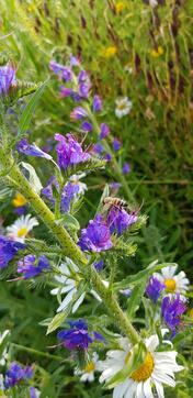 Biene auf Nahrungssuche vor der Haustuere