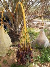 Dattelproduktion in Tunesien Bild NKT