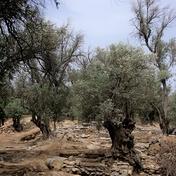 Oliven Baum Bild N. Buzengeiger