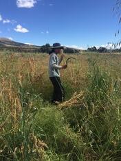Quinoa Ernte Bild Naturkost Group