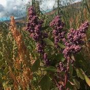 Quinoa rot Bild Naturkost UEbelhoer