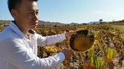 Sonnenblumen China Bild NKUE