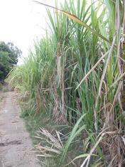 Zuckerrohr Anbau