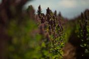 Quinoa Feld Peru Bild Naturkost Peru