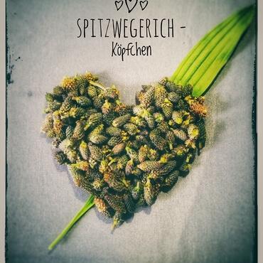 Spitzwegerich Koepfchen Bild Sandra Merk