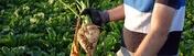 Zuckerruebe Bild Pfeifer undLangen p l000427